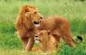 Kartka 3D lwy BPZ