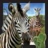 Pocztówka 3D - Zebra .