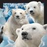 Pocztówka 3D - Niedźwiedzie polarne .