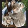 Magnes 3D Koala