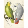 Karnet B6 z kopertą Amazon and Grey Parrots