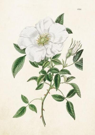 Karnet ST319 B6 + koperta Róża biała