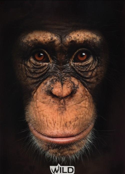 Teczka z gumką A4 Wild Małpa