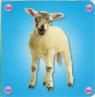 Kosteczka - Owca