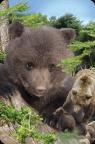 Minikartka 3D - Niedźwiedź brunatny