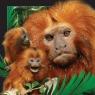Magnes 3D - Małpa tamaryna