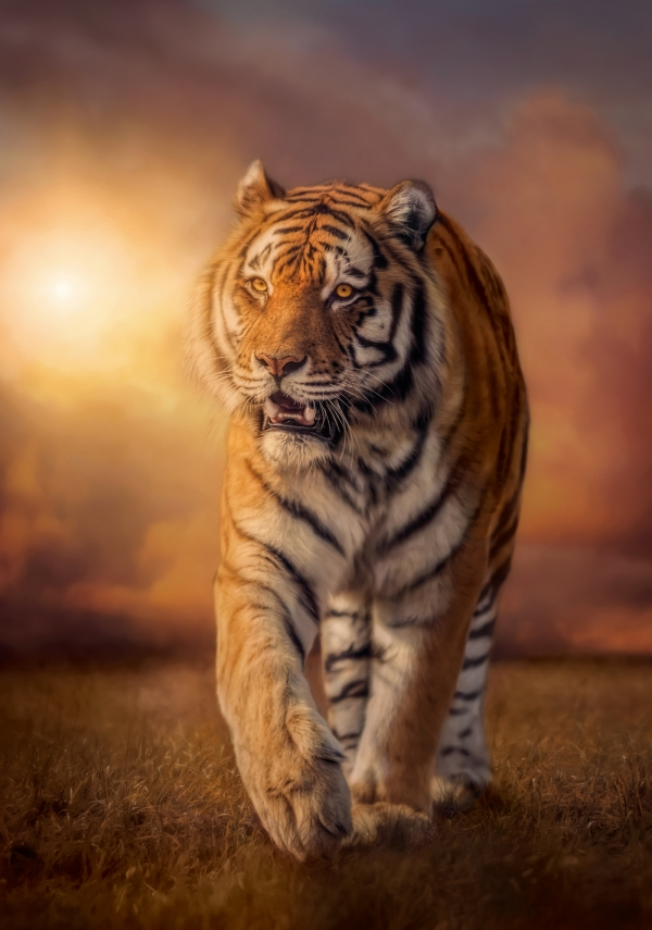 Puzzle 1500: High Quality Collection - Tiger (31806)