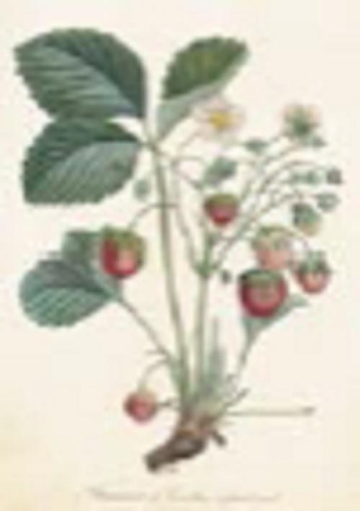 Karnet ST238 B6 + koperta Roślina truskawki