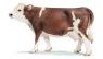 Krowa rasy Simmental (13641)