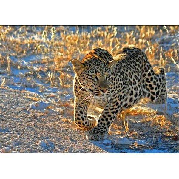 RAVEN. 1000 EL. Leopard o poranku (191420)