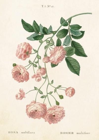 Karnet ST243 B6 + koperta Róża wielokwiatowa