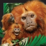 Pocztówka 3D - Małpa tamaryna