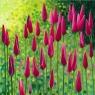 Karnet z kopertą Tulipany Klusjusza