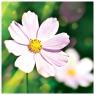 Karnet kwiatowy kwadrat kwiat FF81