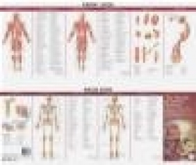 Muscular and Skeletal Systems Chart