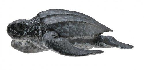 Żółw skórzasty (004-88680)