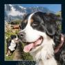 Pocztówka 3D - Berneński pies pasterski