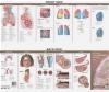 Anatomy and Disorders of the Respiratory System: Study Guide Anatomical Chart Company