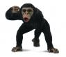 Szympans samiec M