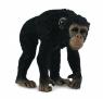 Szympans samica M
