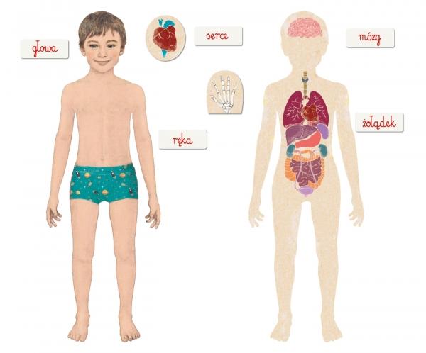 Montessori: Ciało ludzkie (50095)